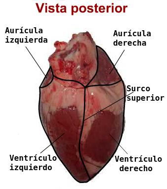 BIOLOGÍA TERCER CICLO: Laboratorio virtual: Disección del corazón de ...